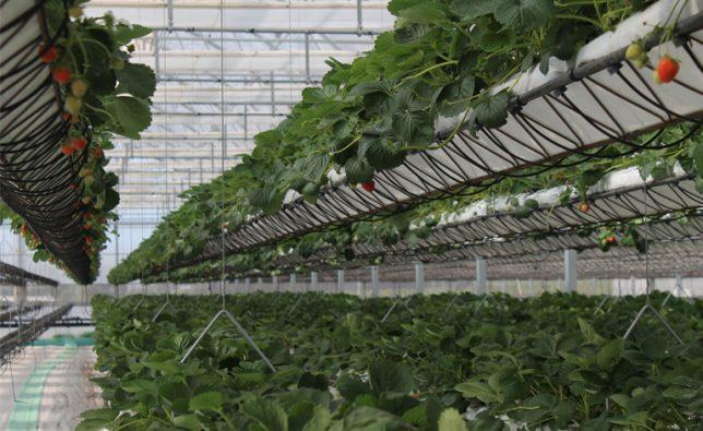 sundrop-farms-hydroponics-644x395